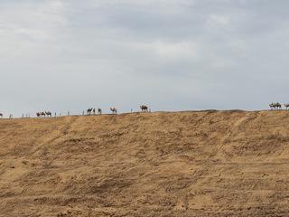 ラクダの隊列